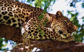 leopard, tree, animals, rest