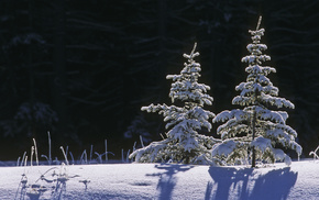 Christmas tree, winter, snow