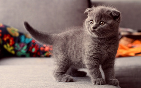 kitten, animals, eyes, gray