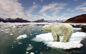 frost, bear, animals, white, snow