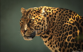 leopard, muzzle, predator, animals