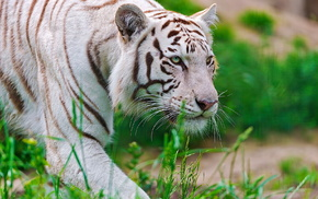 animals, white, muzzle, tiger, predator