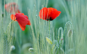 poppies, field, flowers, motion blur, macro
