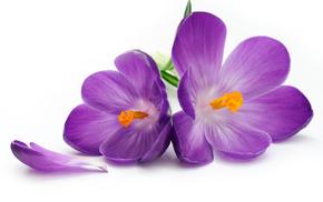 цветы, Flower, flowers, лепестки, petals, крокусы