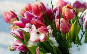 flowers, tulips, snow, spring