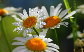 flowers, drops, nature, chamomile