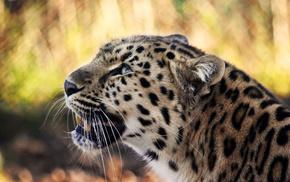 leopard, predator, animals, mustache, muzzle