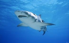 animals, shark
