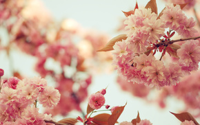 petals, bloom, flowers, twigs, sakura