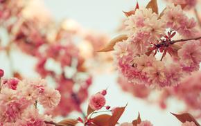 petals, bloom, flowers, twigs, sakura