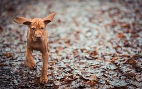 животные, собака, фон, уши