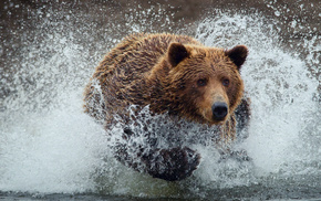 splash, animals, bear, water, drops