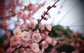 petals, tree, flowers, branch
