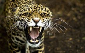 predator, animals, leopard
