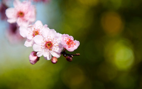 petals, flowers, sakura, branch