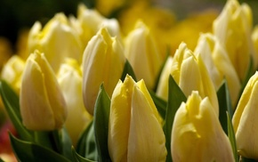 tulips, macro, flowers