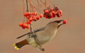background, animals, bird, berries, branch