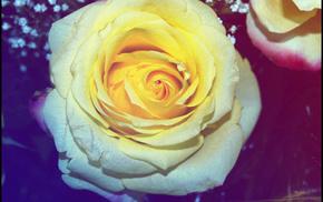 macro, rose