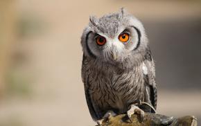 owl, predator, animals, bird