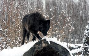 winter, snow, wolf, forest, animals