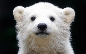 животные, полярный медведь, Белый медведь, северный медведь