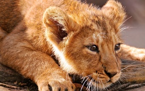 animal, animals, lion