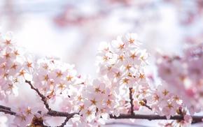 spring, sakura, twigs, petals, flowers