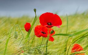 flowers, sky, poppies, summer, field
