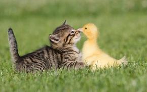 трава, животные, утенок, дружба, Котенок