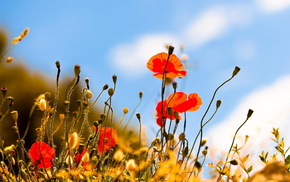 poppies, nature, summer, flowers, sky