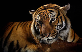 tiger, predator, black background, animals