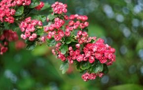 plant, flowers, shrubs, roses