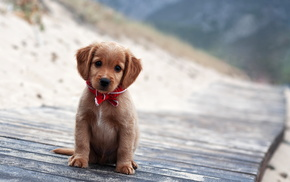 puppy, portrait, dog, animals