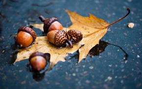 leaf, macro, rain, autumn