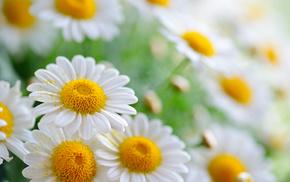chamomile, flowers, bokeh, petals
