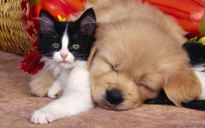 sleeping, puppy, animals, kitten