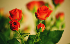 roses, flowers, bouquet, leaves