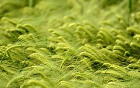 field, wheat, macro