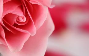 color, rose, flower, pink, petals