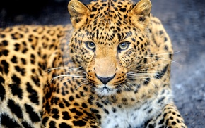 animals, muzzle, animal, leopard, predator