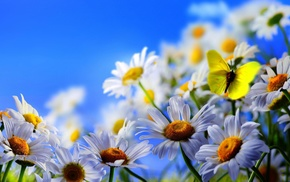 nature, chamomile, flowers, sky, butterfly