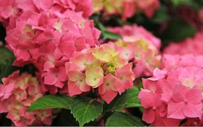 pink, petals, tenderness, background, flower