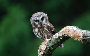 bird, owl, animals, branch