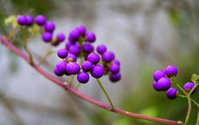 branch, nature, berries