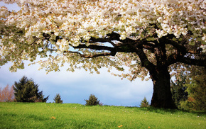 tree, grass, nature, cherry, spring