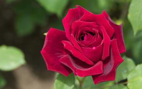 rose, macro, flowers, petals
