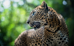 animals, leopard, animal, predator