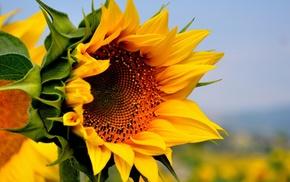 природа, красивые, лето, цветок, подсолнух, желтый