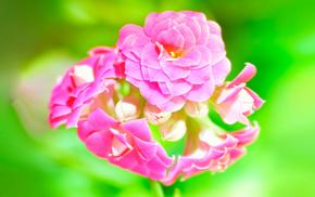 pink, macro, flowers, green