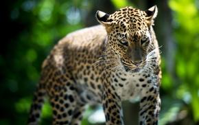 nature, predator, greenery, leopard, animals